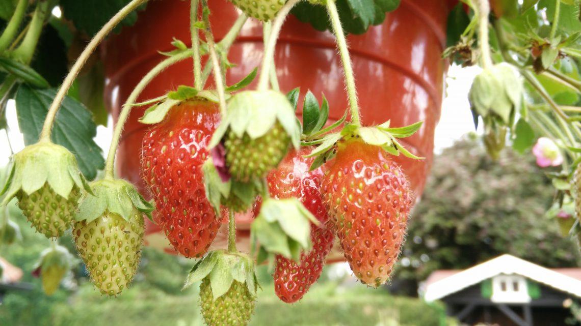 Bild 2_BSL-Erdbeeren